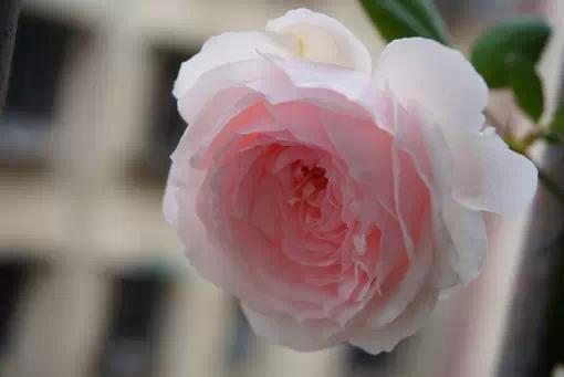 在家里养花,什么品种最好养活且鲜艳?