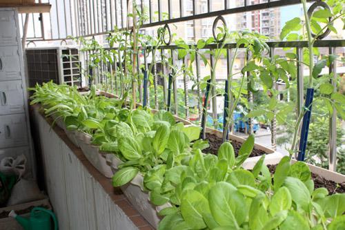 阳台上的菜园