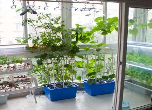 阳台水培蔬菜 制造浪漫绿景