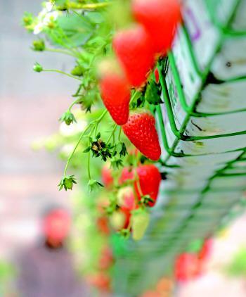 冬季新体验 阳台种草莓