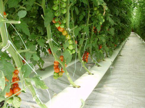 阳台水培西红柿 打造养颜养眼新景色